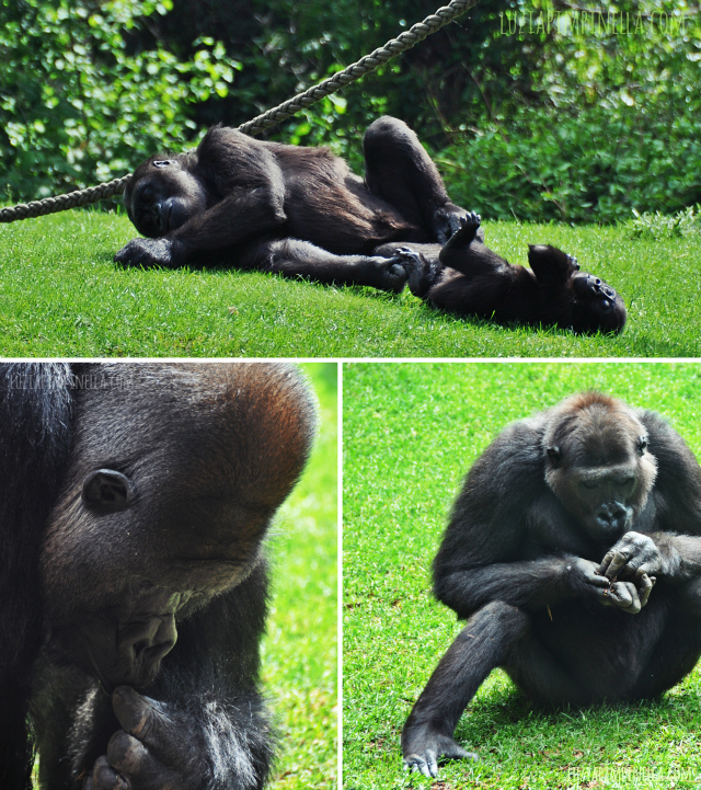 luzia pipinella BLOG | travel tuesday | gorillas im erlebnis-zoo hannover | gorillas at the zoo hannover, germany