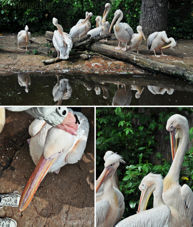 luzia pipinella BLOG | travel tuesday | pelikane streicheln im erlebnis-zoo hannover | petting-zone for pelicans at the zoo hannover, germany