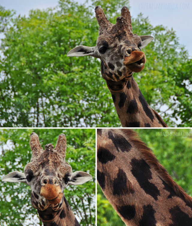 luzia pipinella BLOG | travel tuesday | giraffen im  erlebnis-zoo hannover | giraffes at the zoo hannover, germany