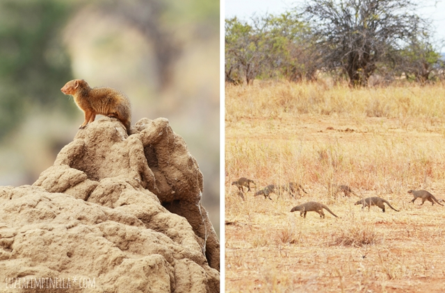 luzia pimpinella | travel tanzania | safari tarangire national park - mongoose