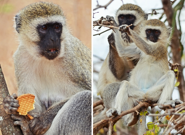 luzia pimpinella | travel tanzania | safari tarangire national park - vervet monkeys