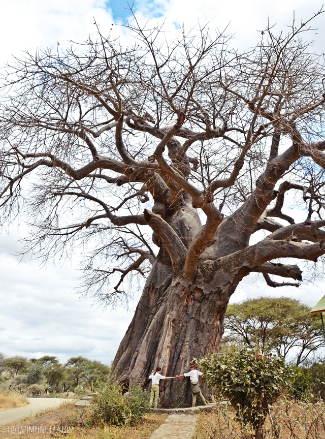 luzia pimpinella | travel tanzania | safari tarangire national park - baobab tree