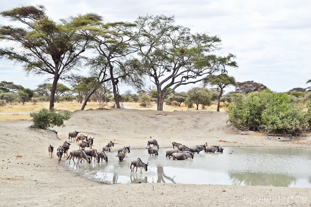 luzia pimpinella | travel tanzania | safari tarangire national park - gnus at water hole