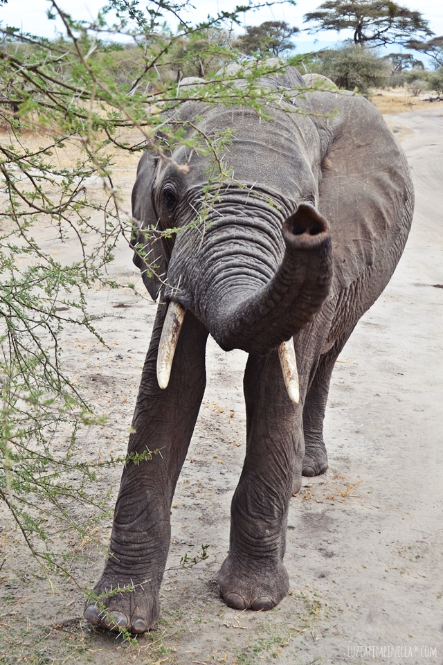 luzia pimpinella | travel tanzania | safari tarangire national park - elephant at the jeep