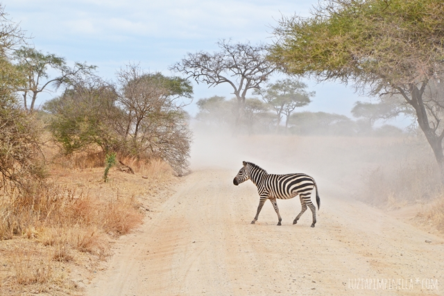 luzia pimpinella | travel tanzania | safari tarangire national park - zebra crossing