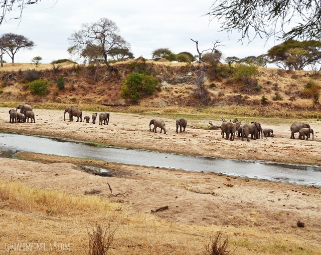 luzia pimpinella | travel tanzania | safari tarangire national park - elephants at river