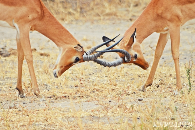 luzia pimpinella | travel tanzania | safari tarangire national park - impala buck fight