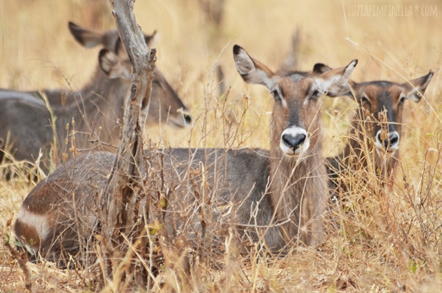 luzia pimpinella | travel tanzania | safari tarangire national park - waterbucks