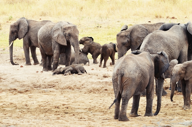 luzia pimpinella | travel tanzania | safari tarangire national park - elephant kids play
