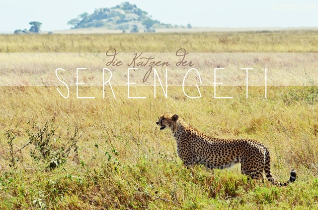 luzia pimpinella | travel tansania | safari in der serengeti - gepard