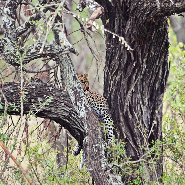 luzia pimpinella | travel tansania | safari in der serengeti - leopard