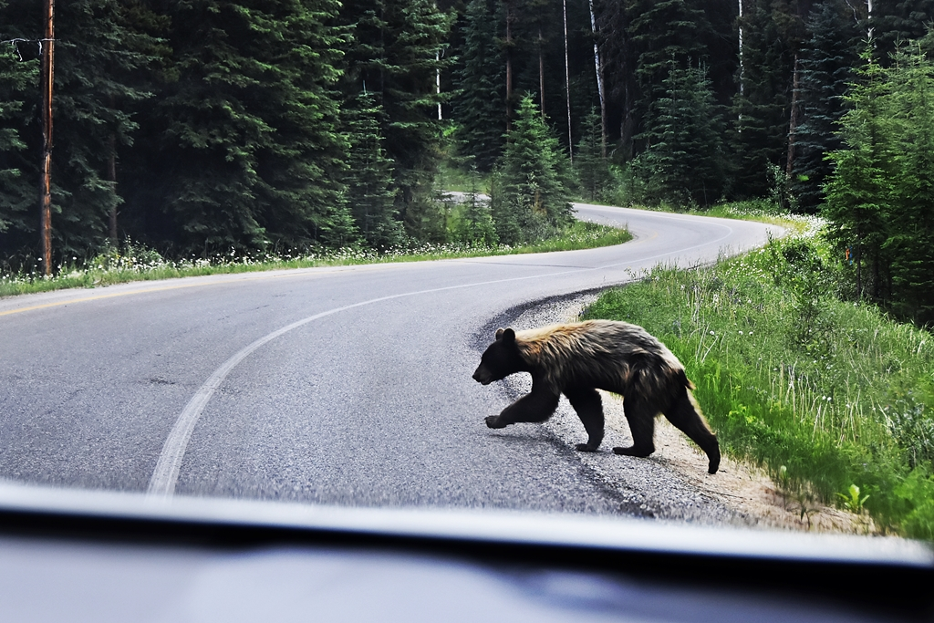 Travel | Was wir auf unserem West-Kanada Roadtrip Wissenswertes über Bären gelernt haben | Things we learned about bears on our Canada Roadtrip | luziapimpinella.com